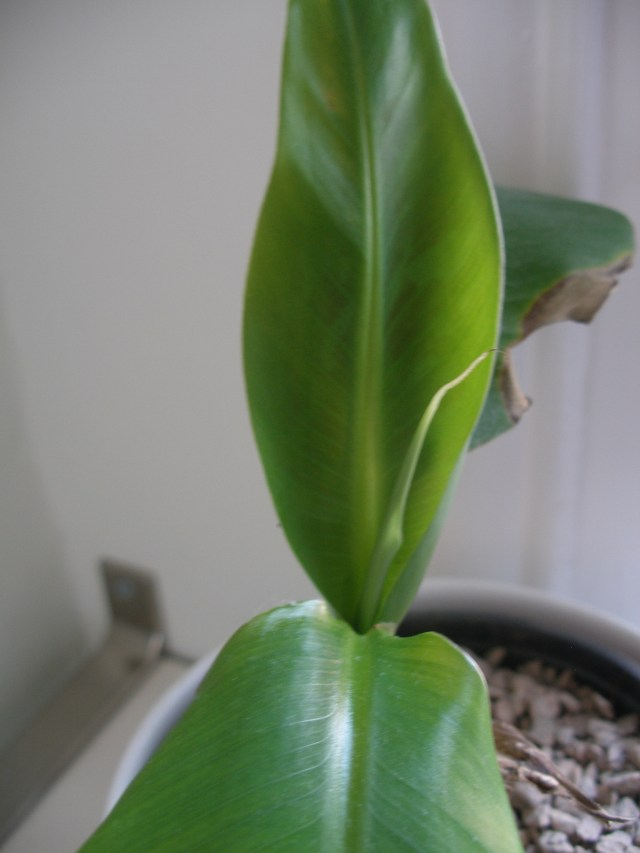 New leaves appearing on the banana plant
