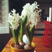 White hyacinths in bloom